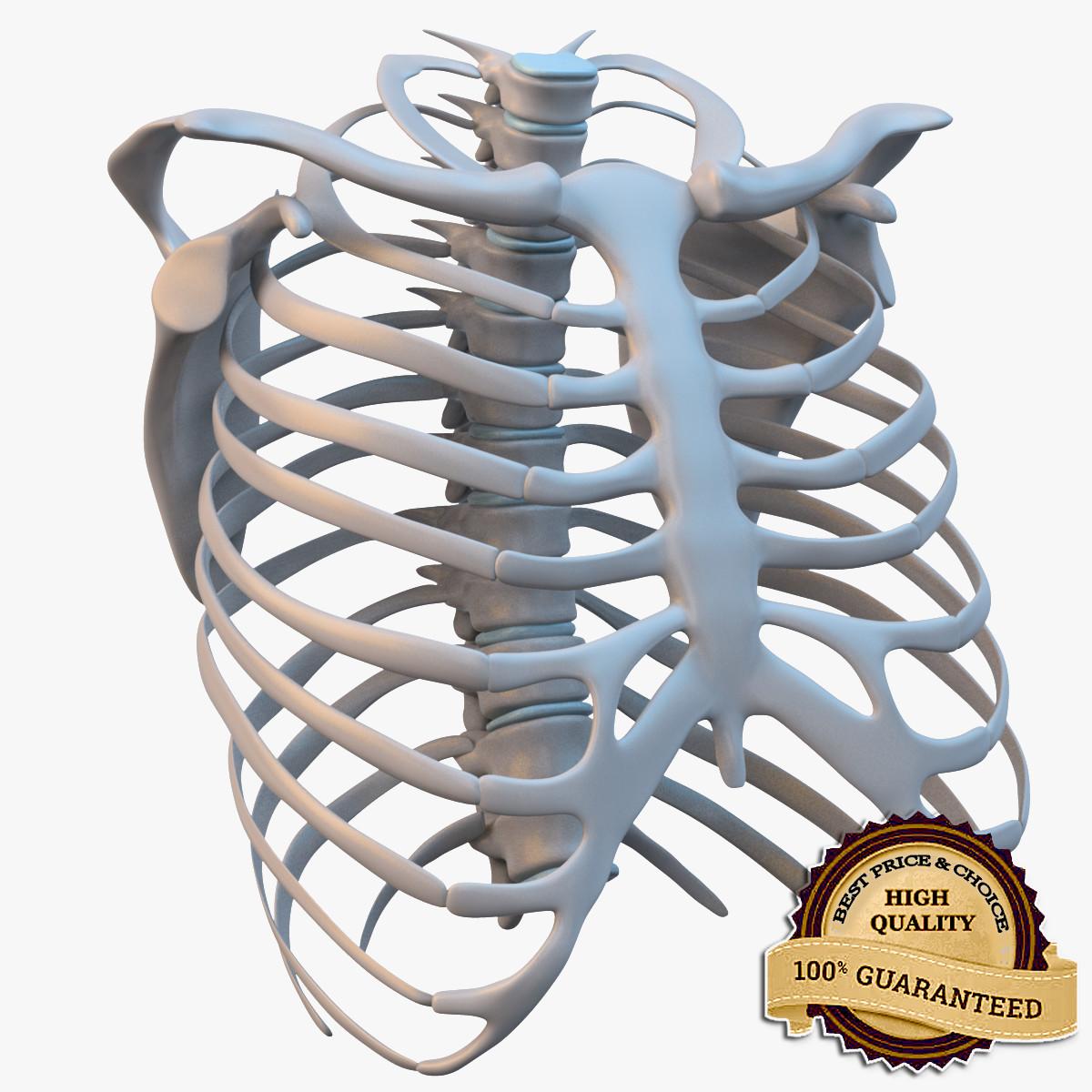 3d model ribcage complete