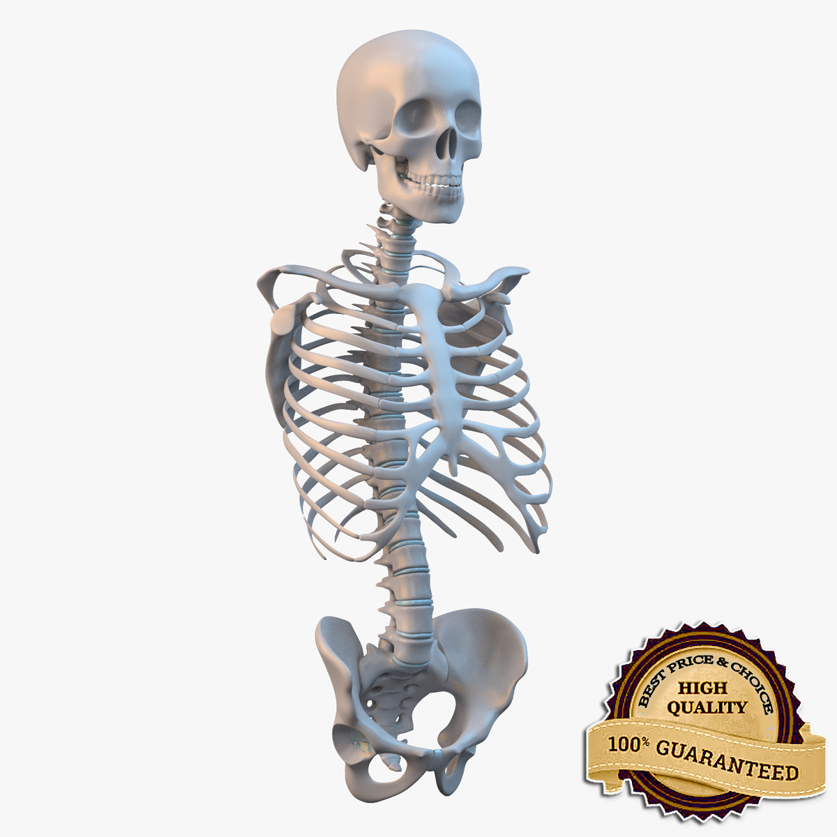 3d torso skeleton model