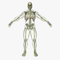 Central Nervous System with Skeleton