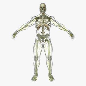 central nervous skeleton organization 3d ma