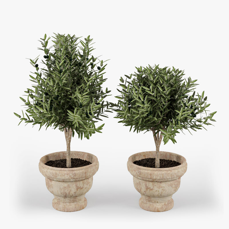 3d model olive trees fruits