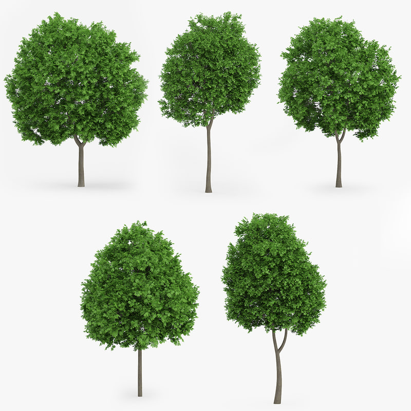 3d model of norway maple trees