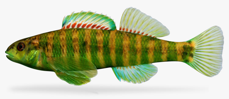 etheostoma zonale banded darter 3d ma