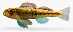3d etheostoma tennesseense tennessee darter