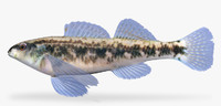3d model etheostoma pyrrhogaster firebelly darter
