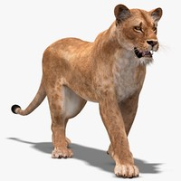 Lioness (1) (Animated)