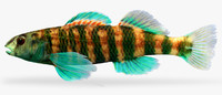 etheostoma lynceum brighteye darter 3d ma