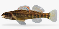 etheostoma asprigene mud darter 3d ma
