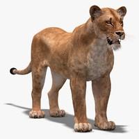 lioness lion 3d max