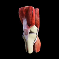 3d model knee