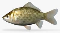 carassius auratus goldfish 3d x