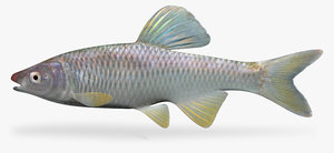3d model cyprinella whipplei steelcolor shiner