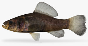 aphredoderus sayanus pirate perch 3d x