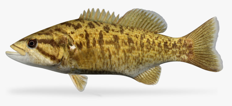 3ds max micropterus dolomieu smallmouth bass