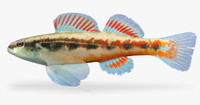 3d fbx etheostoma pyrrhogaster firebelly darter