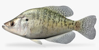 3d model pomoxis annularis white crappie