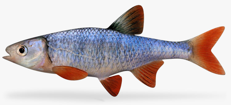 3ds max lythrurus redfin shiner