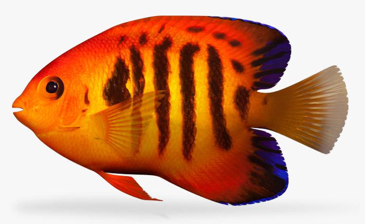 maya flame angel fish