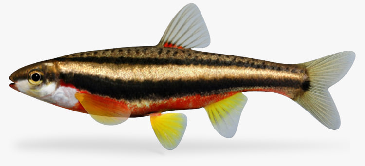 3ds max redbelly dace