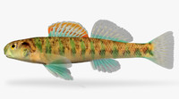 3d etheostoma baileyi emerald darter