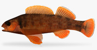 etheostoma bellum orangefin darter 3d model