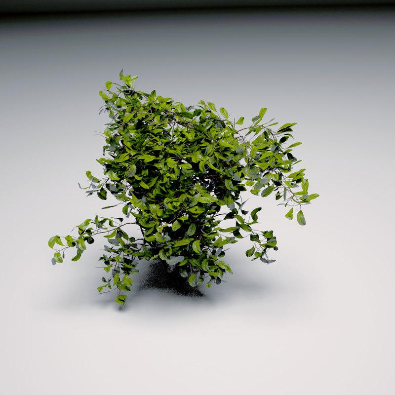 shrub bush max