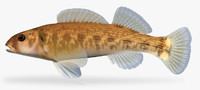 3d model etheostoma bellum orangefin darter