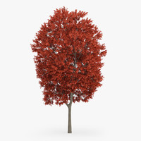 max red maple tree 16m