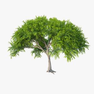 acacia tree 3d max