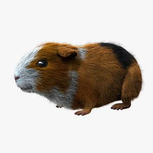guinea pig - fur 3d obj