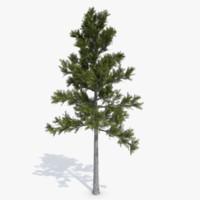 Conifer 1