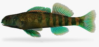 etheostoma blennioides greenside darter 3d fbx
