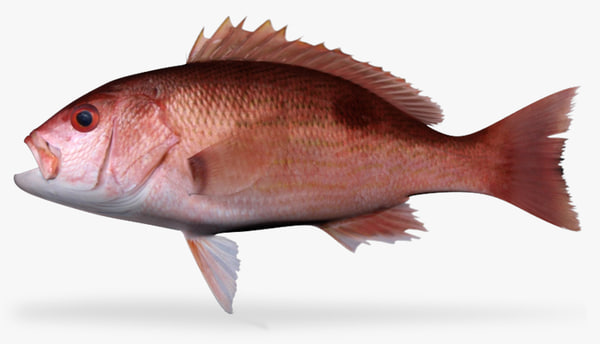3d model of pacific red snapper