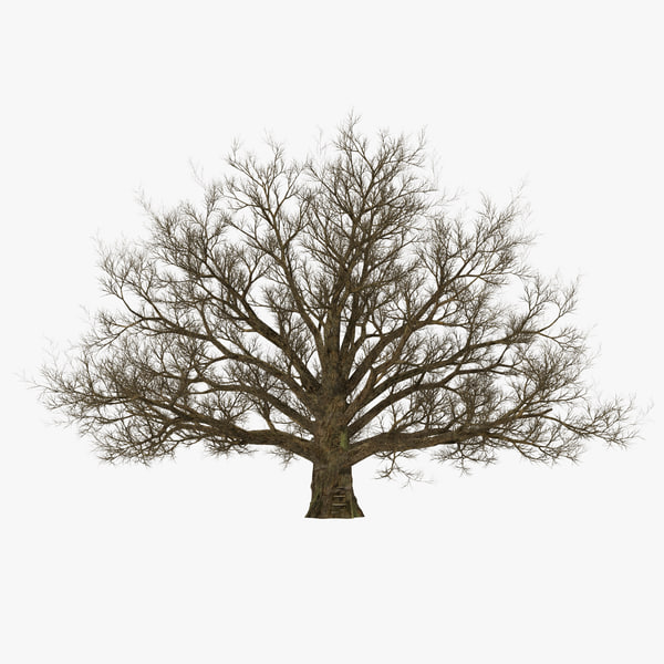 3d model old white oak winter