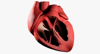 heart anatomy best 3d model