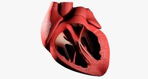 heart anatomy best 3d model