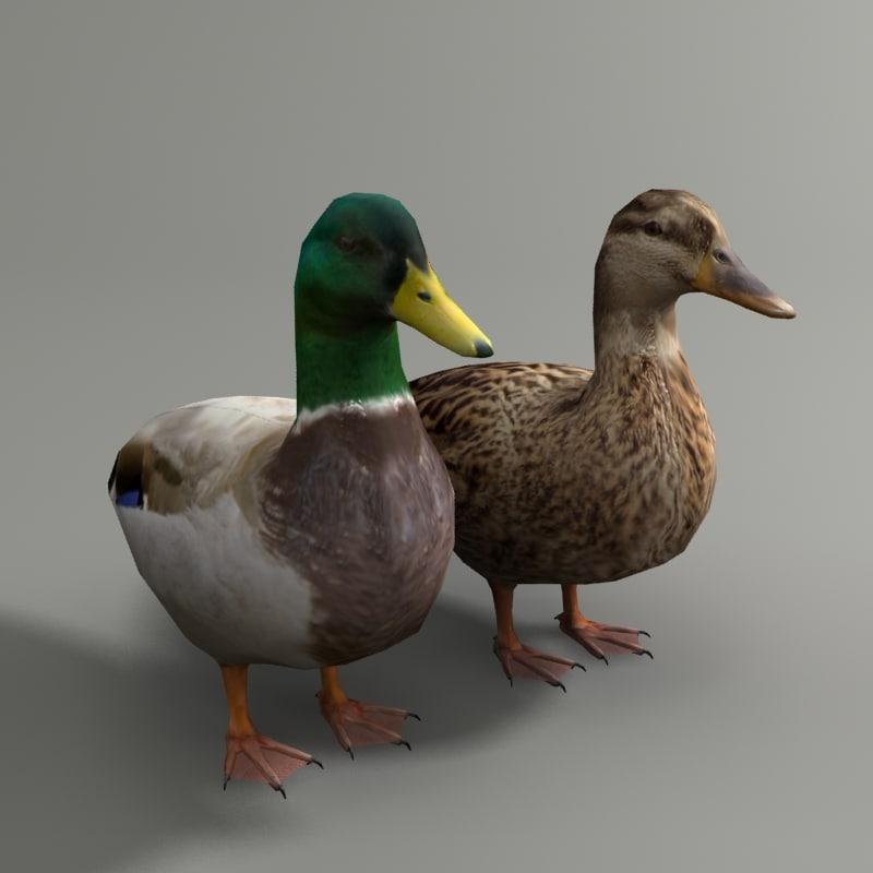 max mallard duck couple