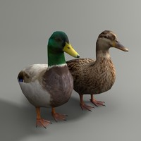 max mallard duck couple