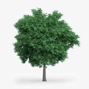3d model english oak 6 3m