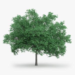 english oak 10 2m c4d