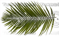 Png Palm Leaves