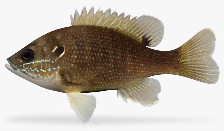 3d model of lepomis cyanellus green sunfish