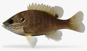 3d model of lepomis cyanellus green sunfish