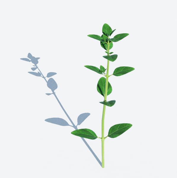thyme herb obj