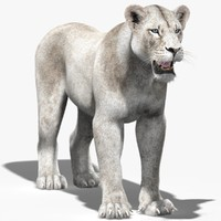 lioness 2 white fur 3d model