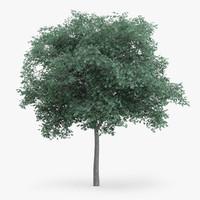 obj northern red oak 7