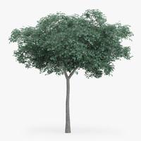 max northern red oak 8