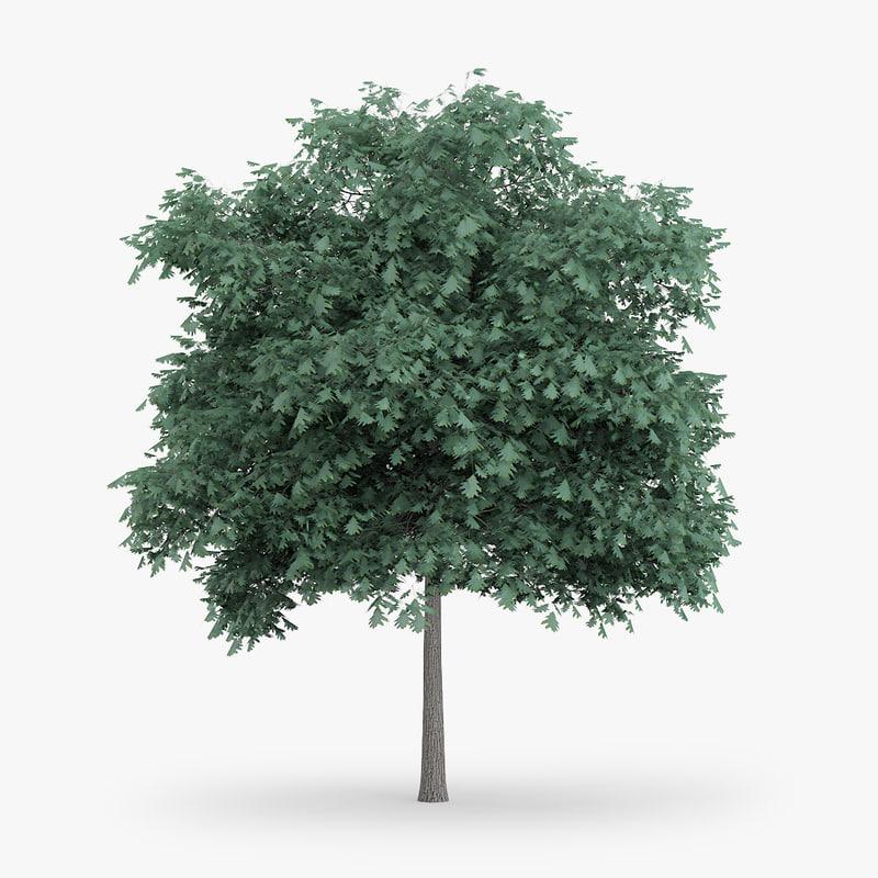 northern red oak 5 3d c4d