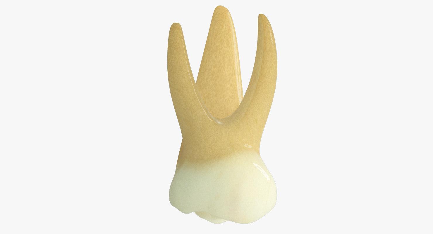max primary molar