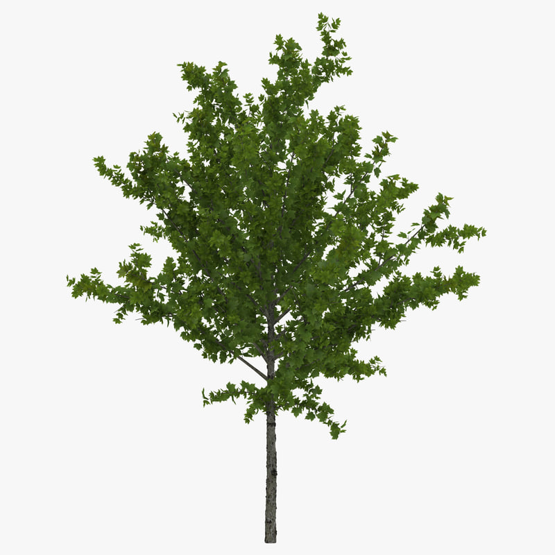 max young tree red maple